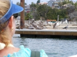 The Pelican: A pest to the local residents, but a majestic flyer and fisher to us tourists